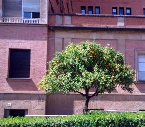 Narancsfa a Val d'Hebron kórház árnyékában