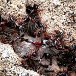 Katona-hangyák Zambiában: középen valami százados féle (hosszú lábaikkal kapaszkodnak, gyorsak és csípnek - meg támadnak, ha közéjük lépsz) - saját fotó